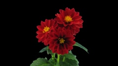 Stereoscopic 3D time-lapse of opening red dahlia 1a (left-eye, DCI-2K) Stock Footage