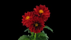 Stereoscopic 3D time-lapse of opening red dahlia 1a (right-eye, DCI-2K) - stock footage