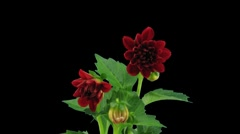 Stereoscopic 3D time-lapse of opening red dahlia 1b (left-eye) - stock footage