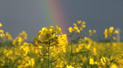 Canola field in rainbow Stock Footage