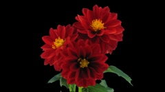 Stereoscopic 3D time-lapse of opening red dahlia 1c (right-eye, DCI-2K) - stock footage