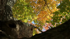 Tree with changing leaves in the fall Stock Footage