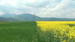 canola field in rainbow - stock footage