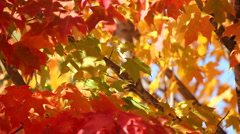 Fall leaves - stock footage