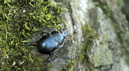 Doug beetle scarab close up Stock Footage
