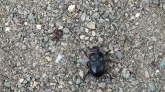 Doug beetle scarab close up Stock Footage