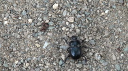 Stock Video Footage of doug beetle scarab close up
