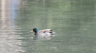 Swimming duck Stock Footage