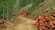 Rugged Logging road lined with Clearcut Trees (3 strip technicolor zoom out). Stock Footage