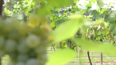 Great shot of Grapes growing in the Vineyard Stock Footage