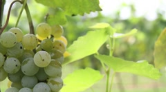 Great shallow depth of field shot showing White Grapes at the Vineyard Stock Footage