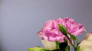 Pink Rose flower close-up Stock Footage