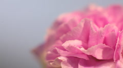 Rose flower HD - stock footage