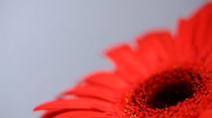 Red flower close-up - stock footage