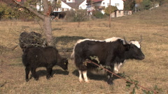 Germany cow with calf yak type Stock Footage