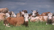 Cows on the field Stock Footage