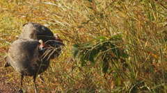 Guineafowls Walking into Long Grass, Africa GFHD Stock Footage
