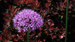 Allium Flower with Barberry Shrub Loop Stock Footage