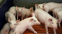 Piglets in a Farm Stock Footage
