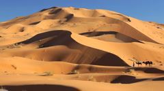 Male in Touareg robes leading camels Sahara Desert, Morocco, Africa Stock Footage