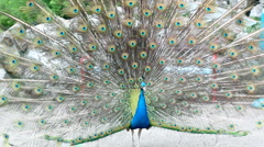 Peacock Displaying Tail Feathers Stock Footage