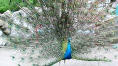 Dancing Peacock Stock Footage