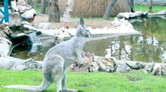 Kangaroo Stock Footage