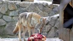 Coyote Eating Meet Stock Footage