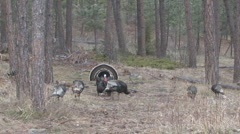 P01437 Wild Turkey Gobbler and Hens Stock Footage