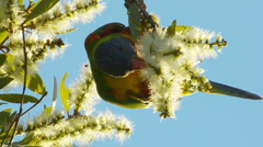 Rainbow Lorikeet Bird - Parrot Feeding on Bottlebrush Flowers, Melaleuca Stock Footage