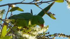 Hilseileviä Breasted Lorikeet Bird - Feeding, papukaija, papukaija, Melaleuca Ku Arkistovideo