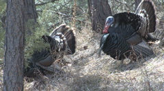 P01443 Turkey Gobbler Stock Footage