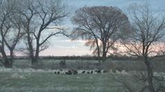 P01446 Turkey Flock at Dawn Stock Footage