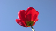 Stock Video Footage of Red tulip in  spring sunny day