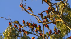 Rainbow Lorikeet Birds Flock - Flying, Resting. Parrots Slow Motion Stock Footage