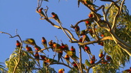 Rainbow Lorikeet Birds Flock - Flying, Resting. Parrots Slow Motion Stock Footage