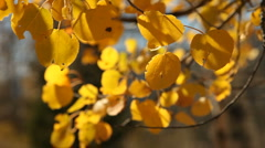 Aspens Autumn 175 29.97 Stock Footage