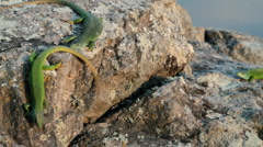 Mating season in lizards. Stock Footage