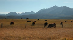 Cattle Sawtooth Mountains 227 29.97 Stock Footage