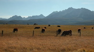 Stock Video Footage of Cattle Sawtooth Mountains 227 29.97