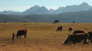 Stock Video Footage of Cattle Sawtooth Mountains 230 29.97