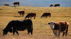 Cattle Graze 234 29.97 Stock Footage