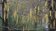 Stock Video Footage of Golden catkins sway in spring breeze