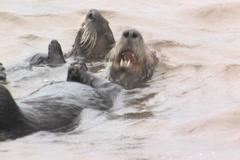Sea otters Stock Footage