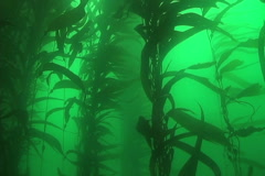 Giant kelp Stock Footage