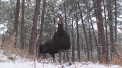 P01433 Ground Level of Turkeys Feeding in Snow Stock Footage