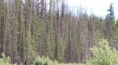 Pine Beetle kill Stock Footage
