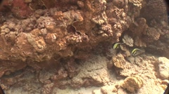 Angel Fish Swimming in Coral Reef Stock Footage