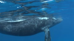 Awesome Humpback Whale Underwater Stock Footage