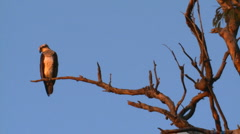 Osprey Sea Eagle Perched and Resting on Dead Tree Branch, Wide Shot Stock Footage